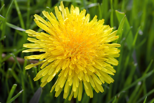 how to clean dandelion flowers