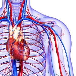 The-Circulatory-System