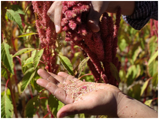 Amaranth ancient grain
