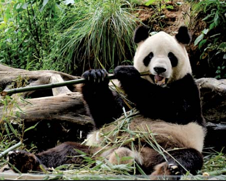 panda eating bamboo- Amazing health benefits of bamboo shoots