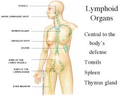 Lymph node