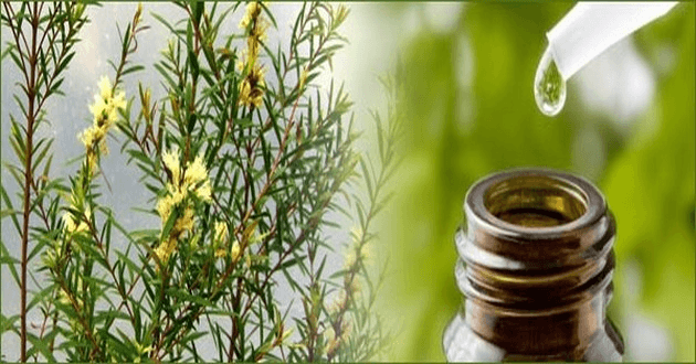 Top 9 Benefits Of Tea Tree Oil