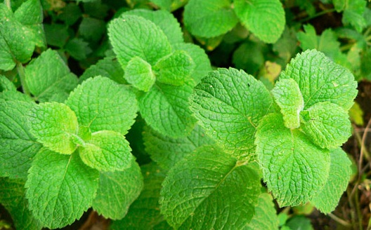 Mint leaves for health